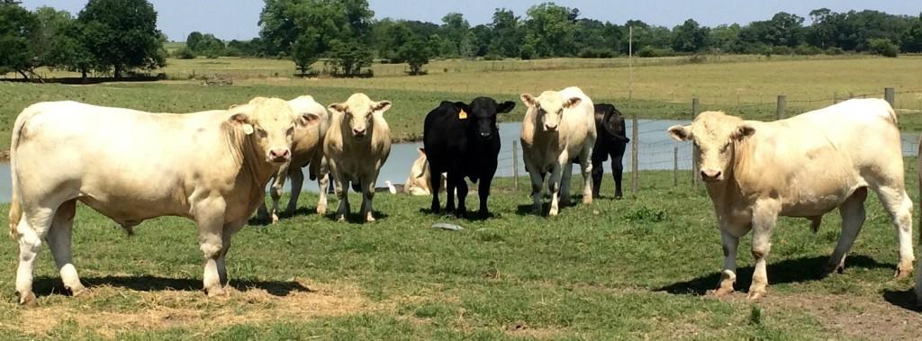 Meadows Creek Farm Charolais Angus Bulls