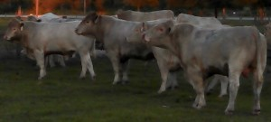Meadows Creek Farm Charolais Bulls 3
