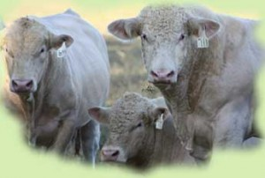 Meadows Creek Farm Charolais Bulls