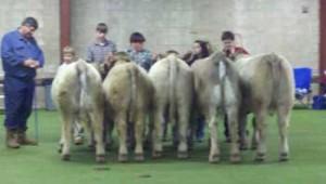 Charolais/Angus Cross Steers