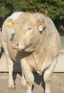 Meadows Creek Farm Charolais Bull 109