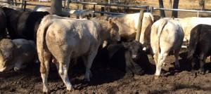 Charolais Angus Bulls 14