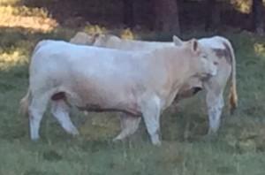 Charolais Bulls 2